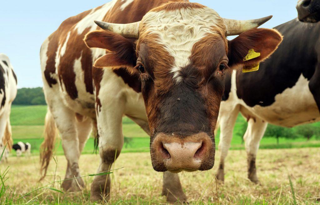 Eine Kuh schaut den Betrachter misstrauisch an